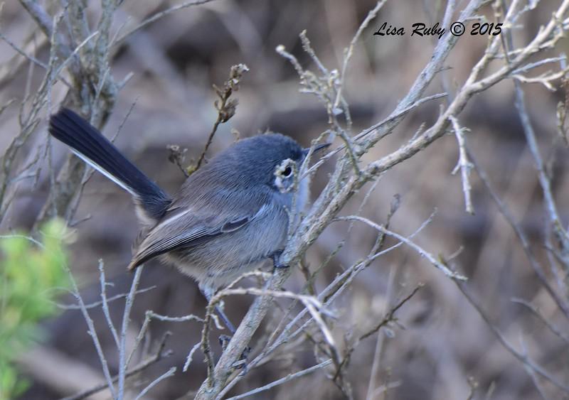 California Gnatcatcher  - 11/12/2015 - San Elijo Lagoon - Rios Road