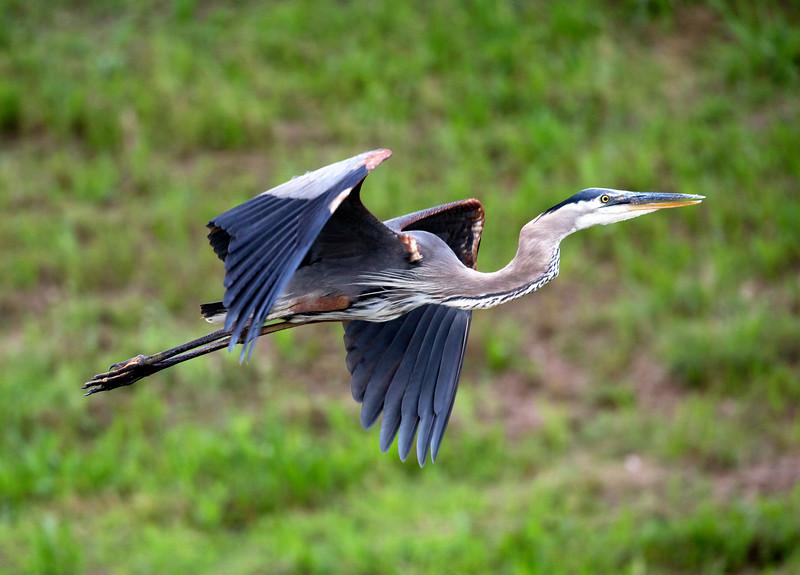 Great Blue Heron taking flight, Brays Bayou