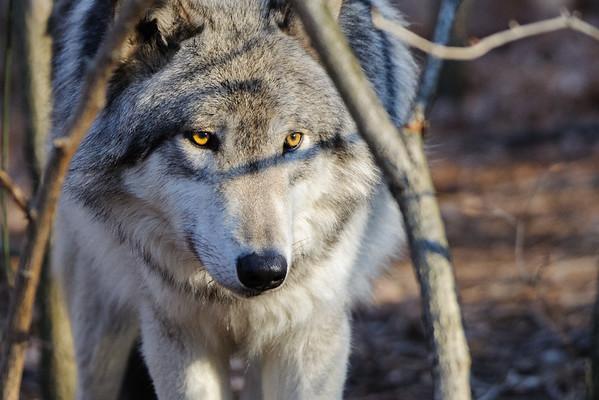 Lakota Wolves