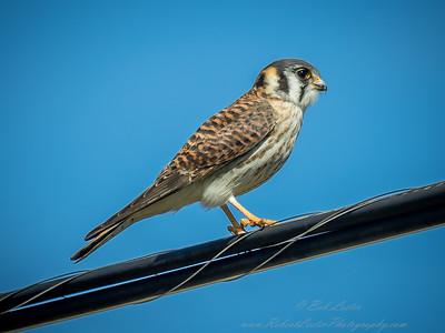 American Kestrel Falcon  (Falco sparverius)