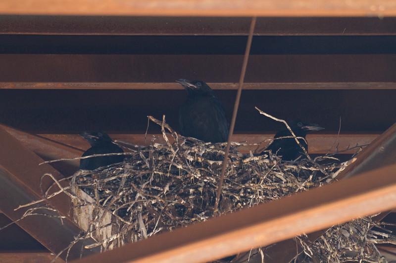 Common Raven nest with four nestlings under railroad bridge MN23 near St. Louis River Gary New Duluth MN IMG_2055.jpg