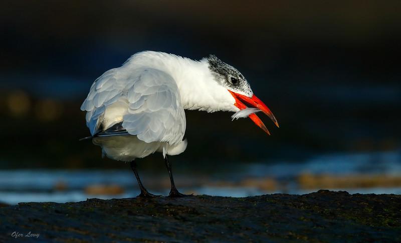 Caspian Tern preening MASTER.jpg