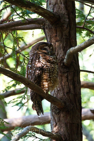 Spotted Owl Marin County 2011