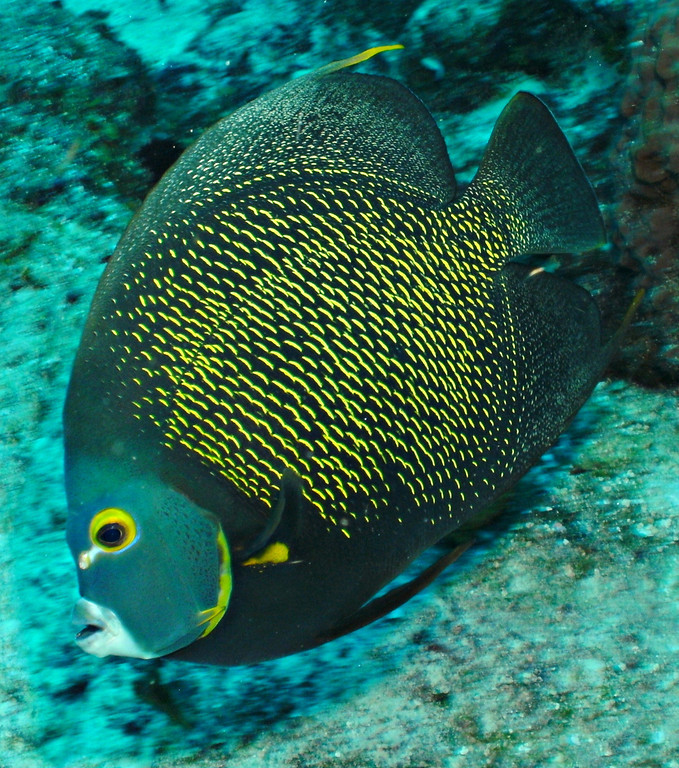 French Angelfish. Diving with Pepe. Cozumel Mexico.