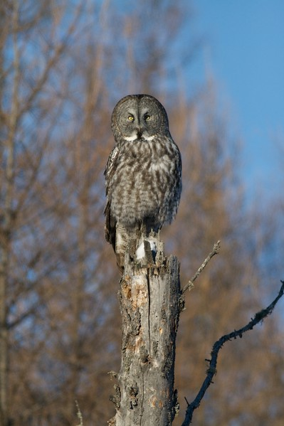 """Their bright white """"bow tie"""" really stands out on a perched Great Gray Owl [January; Sax-Zim Bog, Minnesota]"""