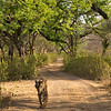 Tiger walking in a dry forest