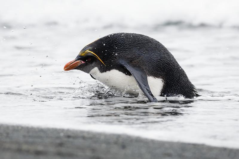 Macaroni Penguin (Eudyptes chrysolophus) candidate