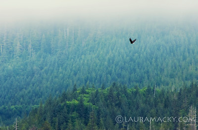 Eagle Soaring over Tongas Forest