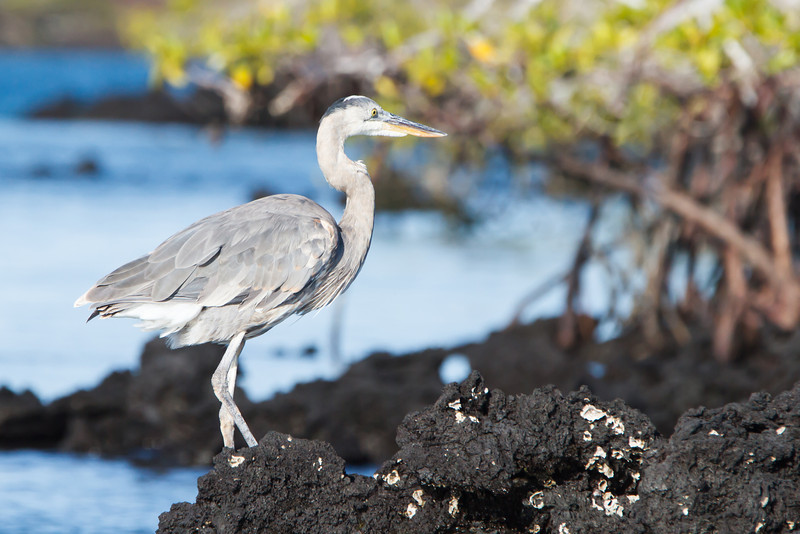 Great Blue Heron at Elizabeth Bay, Isabela, Galapagos, Ecuador (11-23-2011) - 807.jpg