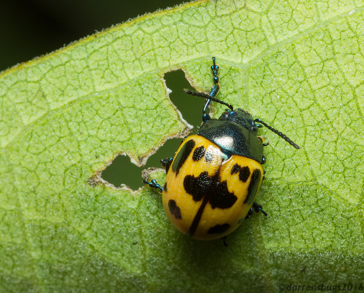 Swamp Milkweed Leaf Beetle, Labidomera clivicollis, feeding on milkweed (Iowa, USA).