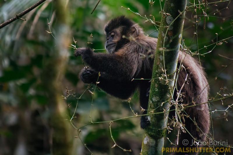 Black capuchin eating checking bamboo stalks