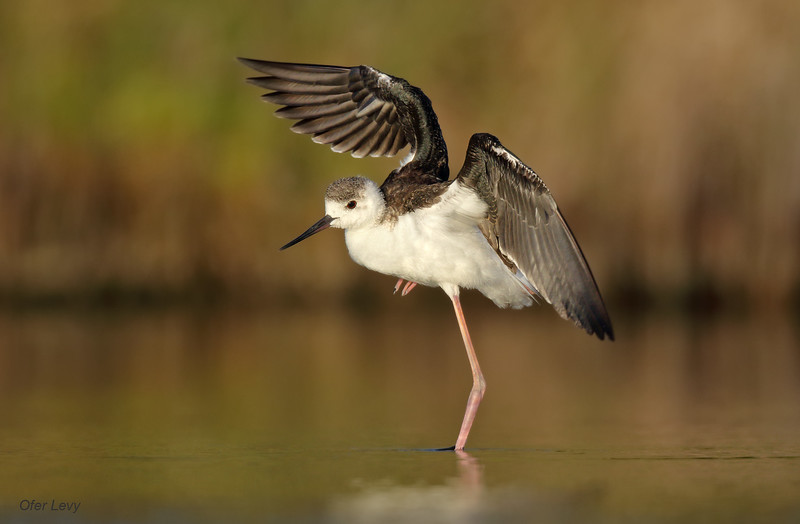 Black-winged Stilt juv balancing MASTER.jpg