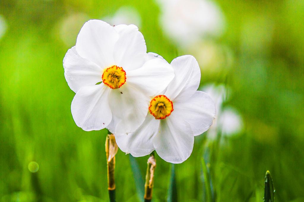 水仙花,纯洁心灵
