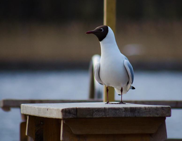 Gull On A Bench