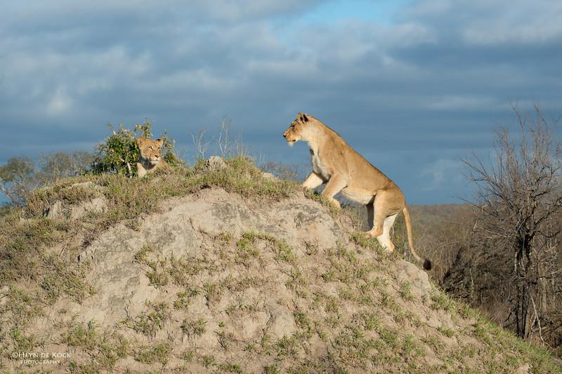 African Lion, Sabi Sands (EP), SA, Sept 2015-15.jpg