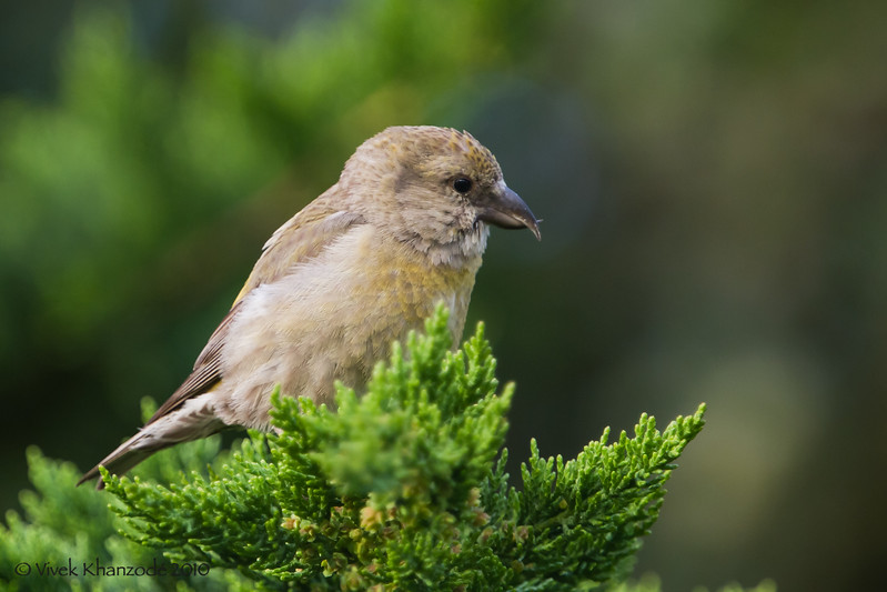 Red-Crossbill-2010-04-7229.jpg