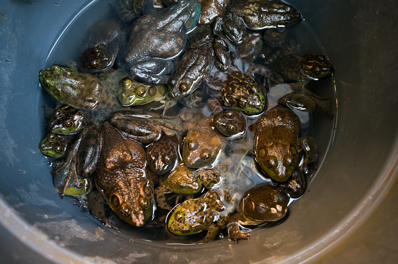 live frogs in a bucket