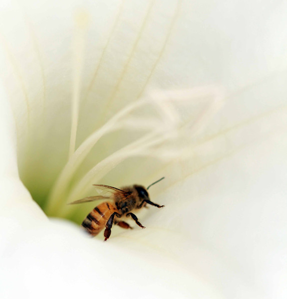 bee in lily.jpg