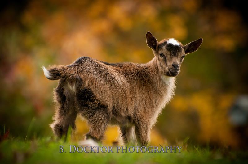 1310_Nigerian dwarf goats_117.jpg