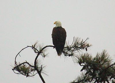 Eagle at Oyster Bay Lake April 11 2011