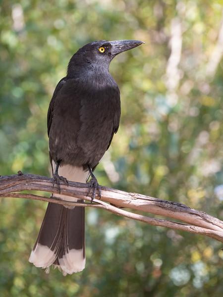 Crows Magpies Butcher Birds