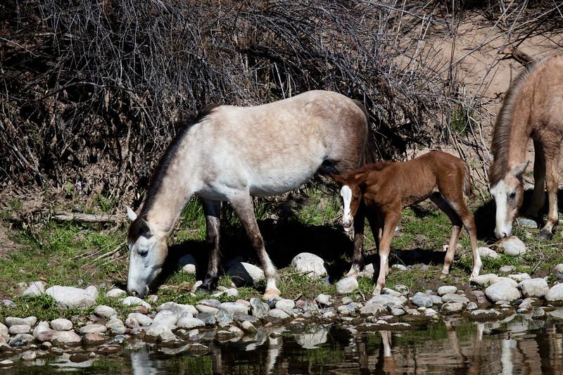Wild Horses Lower Salt River Tonto National Forest
