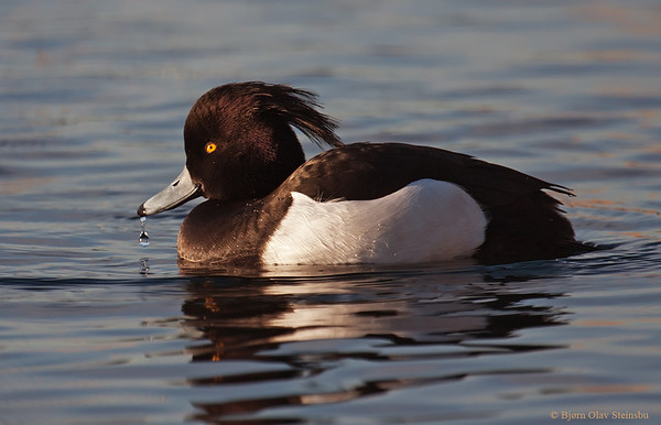Waterfowl / Andefugler (Anseriformes)