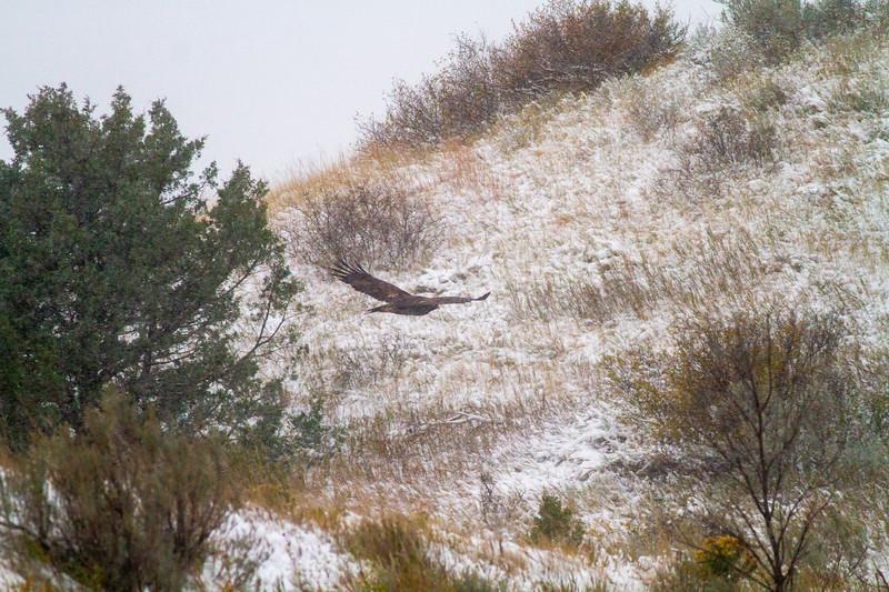 Golden Eagle Theodore Roosevelt National Park Medora ND -2116.jpg