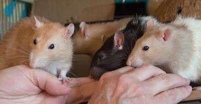 Seven Makes Rats