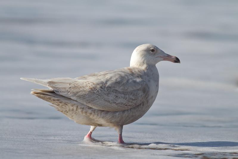 Glaucous-Gull-2011-01-2306.jpg