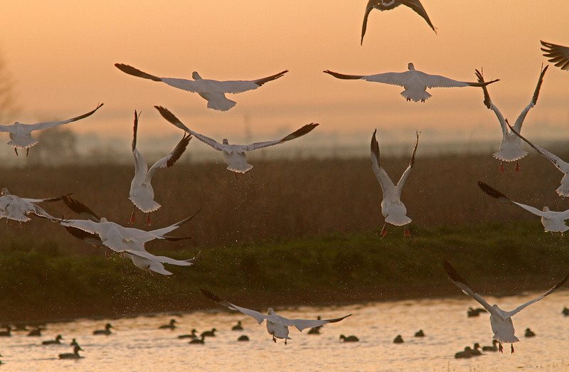 Snow Geese fly-out, Colusa WLR