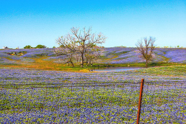 Texas Bluebonnets, Wildflowers & Landscapes