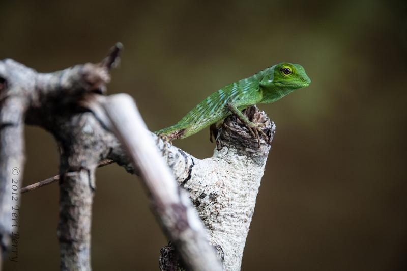LIZARD - Green crested juvenile-0707.jpg