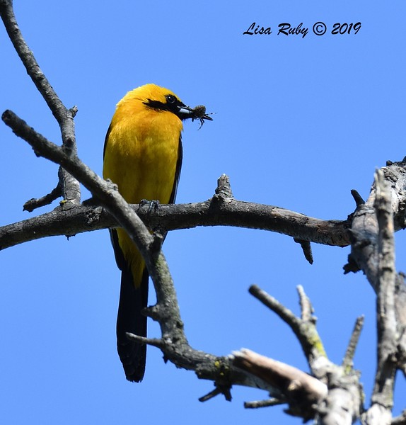 Hooded Oriole with spider - 6/28/2019 - Poway Pond