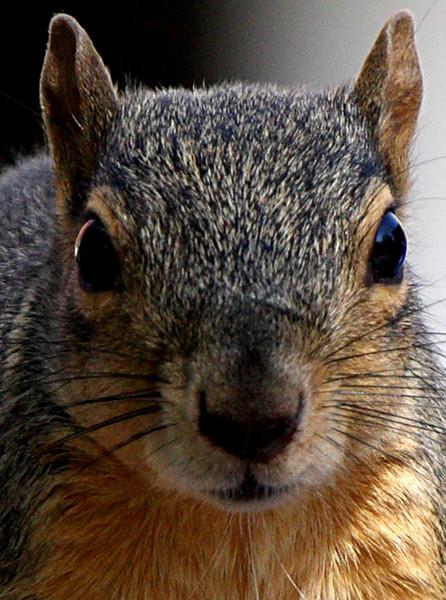The Fierce squirrel