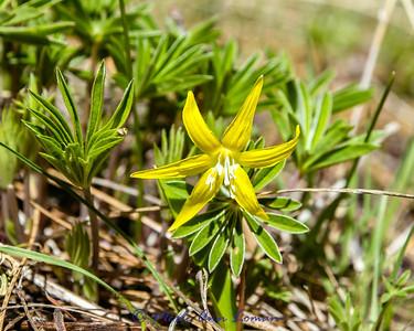 Glacier Lily - Erythronium grandiflorum