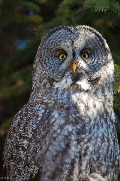 Great Grey Owl, Calgary Zoo Oct.31