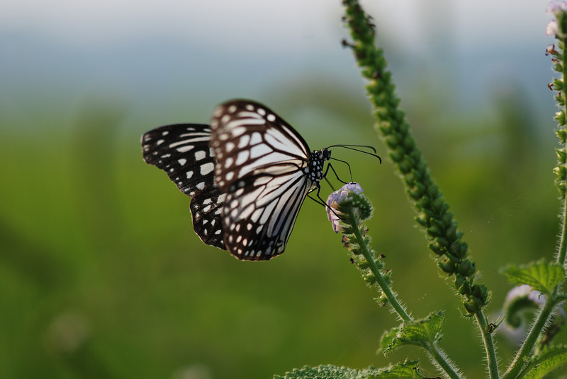 Butterfly- Vietnam