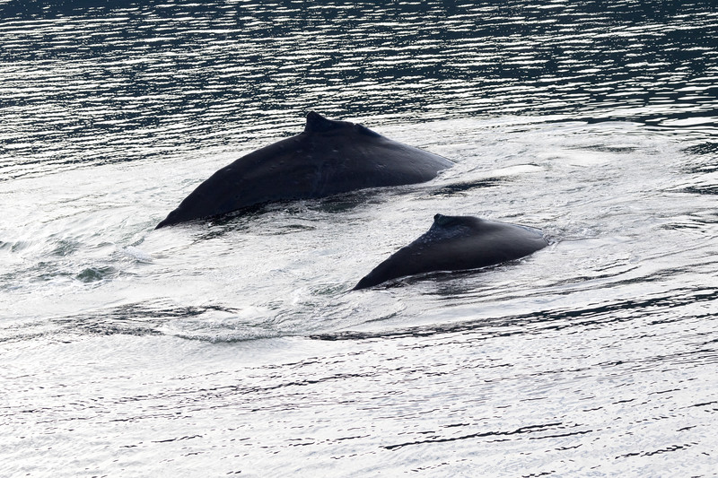 A humpback whale mother and baby arch their backs at the surface of the water in Alaska.