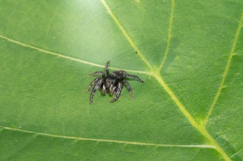 Phiduppus purpuratus Jumper Skogstjarna Carlton County MNDSC09300.jpg
