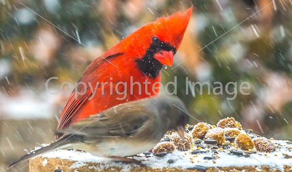 Backyard Birds & Other  Visitors - Winter #1
