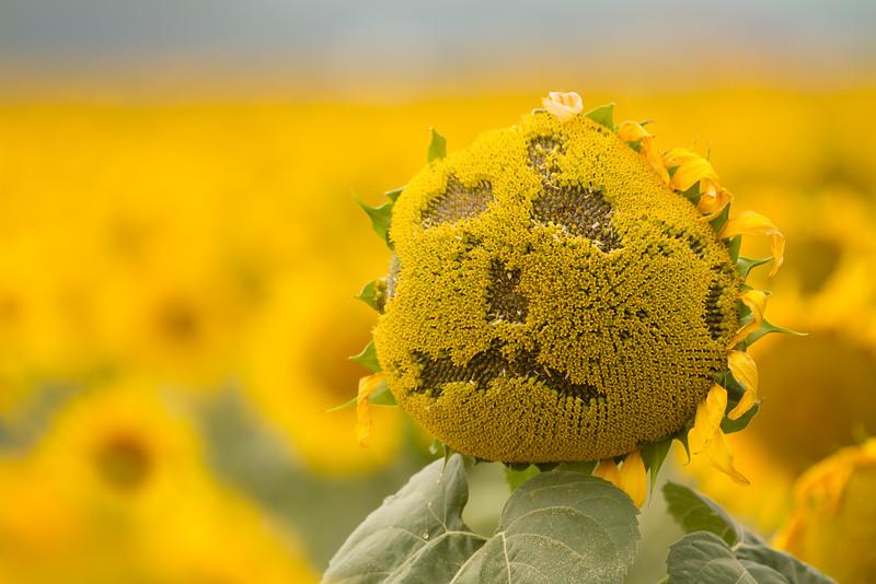 sun flowers-3916.jpg
