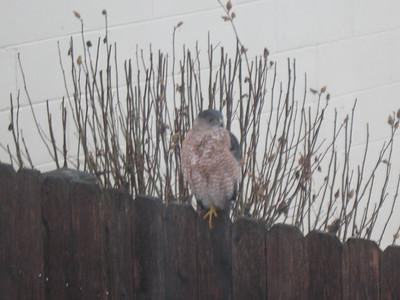 2014-02-20 Hawk in Back Yark