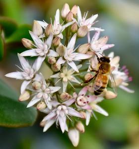 Jade Plant Flower & Honey Bee