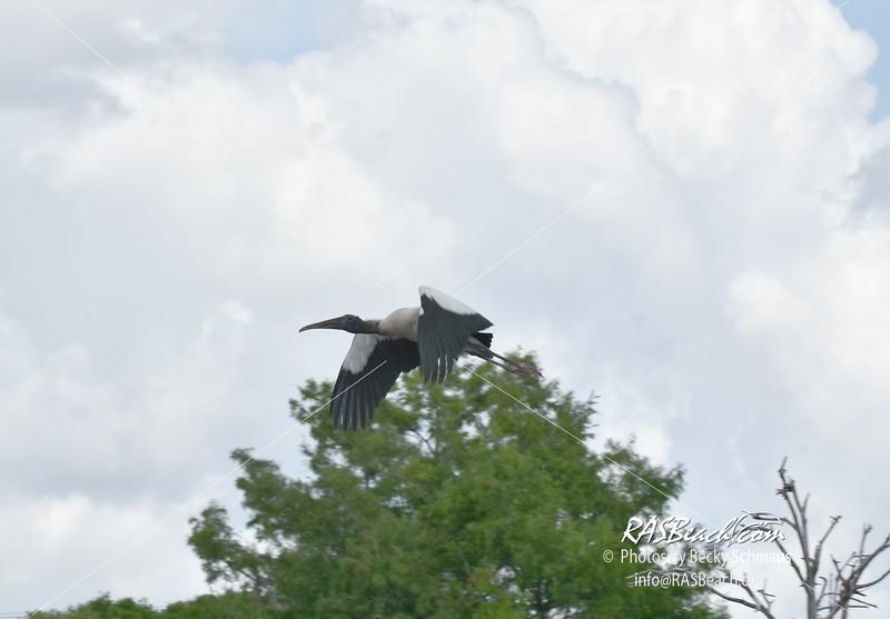 Woodstork in the Wakodahatchee Wetlands, Palm Beach County, Florida