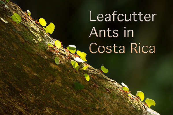 Leafcutter Ants of Costa Rica