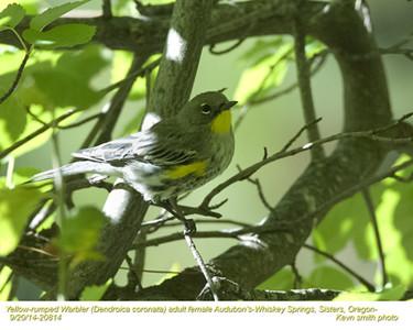 Yellow-rumped Warbler Audubon's F20825.jpg