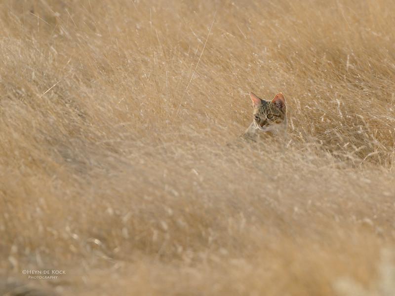 African Wild Cat, Etosha NP, NAM, Jul 2011.jpg
