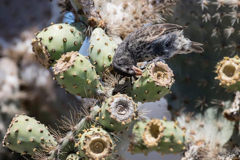 Common Cactus-finch