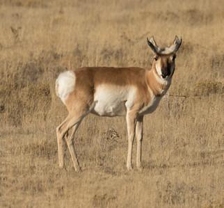 Pronghorn Antilocapra americana
